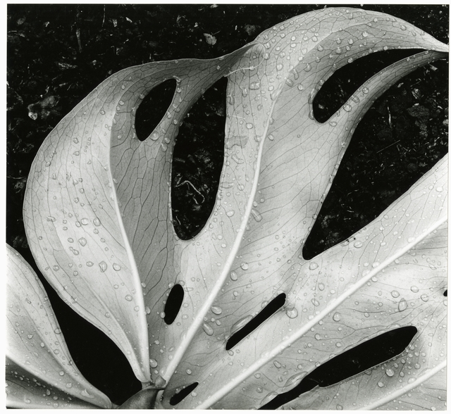 , 'Leaf and Rain Drops,' 1979, Timeless Gallery