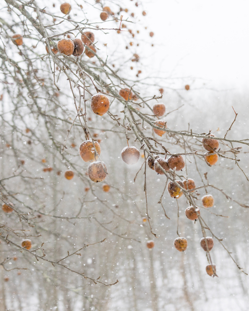, 'Frozen Apples,' , Dowling Walsh
