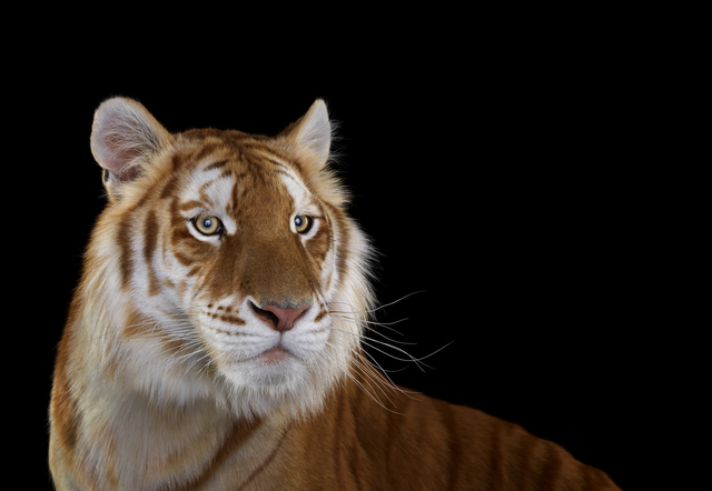 , 'Golden Tiger, #1, Monterey, CA,' 2014, photo-eye Gallery