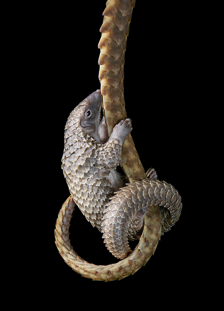 , 'Pangolin Holding on to Mothers Tail,' 2017, Osborne Samuel
