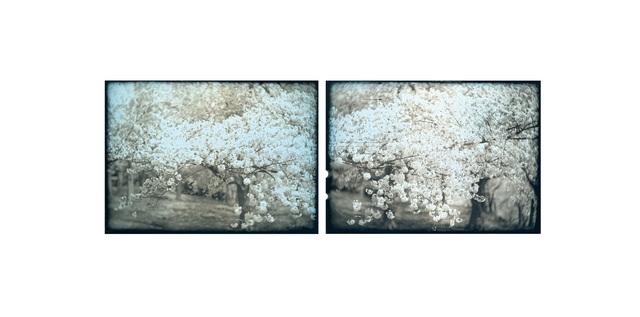 , ' 'Sakura (Cherry Blossom), Study, No.1'  ,' , Purdy Hicks Gallery