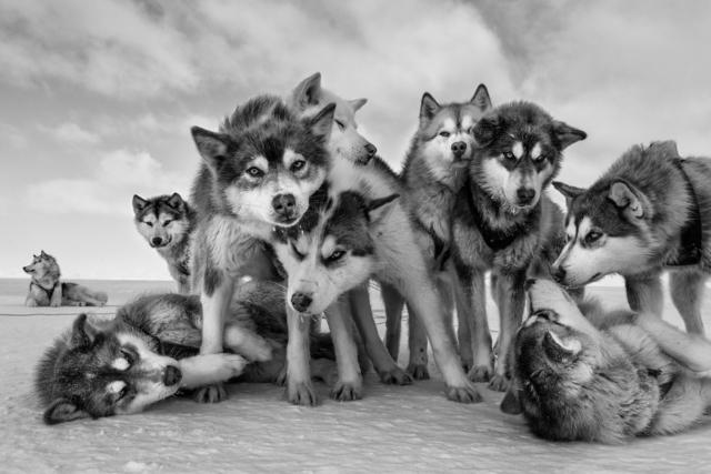 Paul Nicklen, 'Husky Huddle', 2015, Photography, Archival Pigment Print, Hilton Asmus
