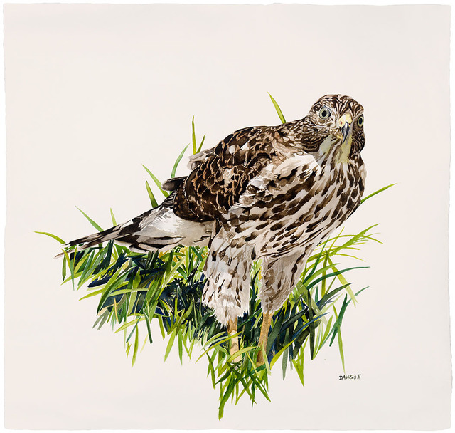 , 'Young Cooper's Hawk in Grass,' 2018, Wally Workman Gallery