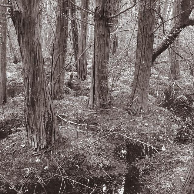 , 'White Cedar Swamp, Wellfleet, Massachusetts,' , Soho Photo Gallery