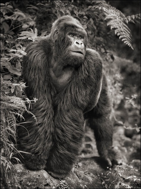 Nick Brandt, 'Gorilla on Rock, Parc des Volcans 2008', 2008, photo-eye Gallery