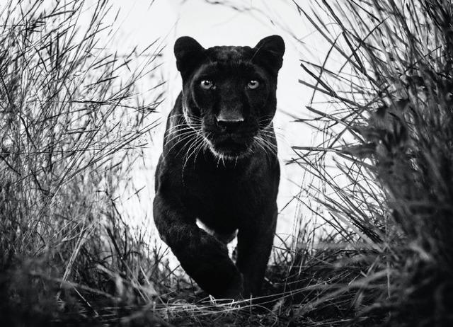 David Yarrow, 'Black Panther', 2018, Photography, 315gsm Hahnemuhle Photo Rag Baryta Paper, Isabella Garrucho Fine Art