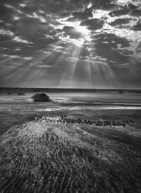 , 'Herd of Buffalo, Kafue National Park, Zambia,' 2010, Huxley-Parlour