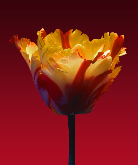 , 'New Parrot Tulip,' 2015, Florida Fine Art