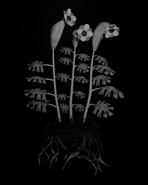 , 'Voynich Botanical Studies, Specimen 55r Zima,' 2016, Koenig & Clinton