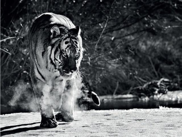 David Yarrow, 'Eye Of The Tiger', 2015, Maddox Gallery