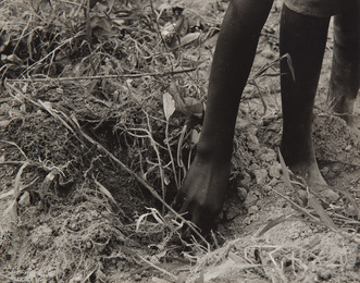 Hand of a Young Daughter, Transplanting Sweet Potatoes, Tenant Farmers, Colored, Near Chatham, North Carolina