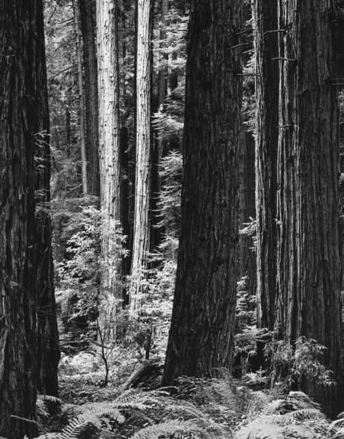 , 'Redwoods,' 2013, The Ansel Adams Gallery