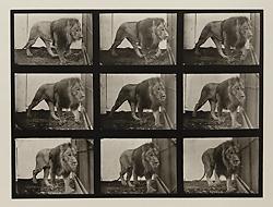 Eadweard Muybridge, 'Plate 721. Lion; walking.', 1887, Laurence Miller Gallery