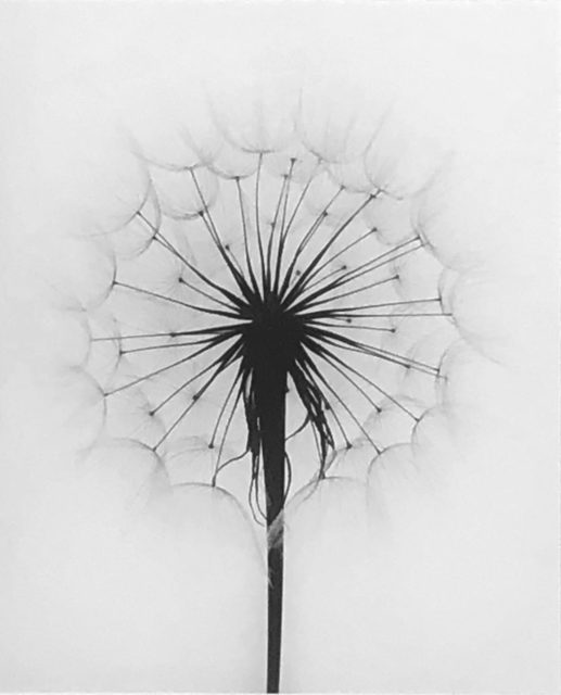 , 'Scots Thistle, Rochester, NY,' 1958, Obscura Gallery