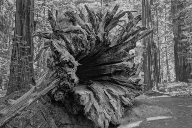 , 'Sequoia Sempervirens (Legacy) nr 1,' 2018, LOCUS