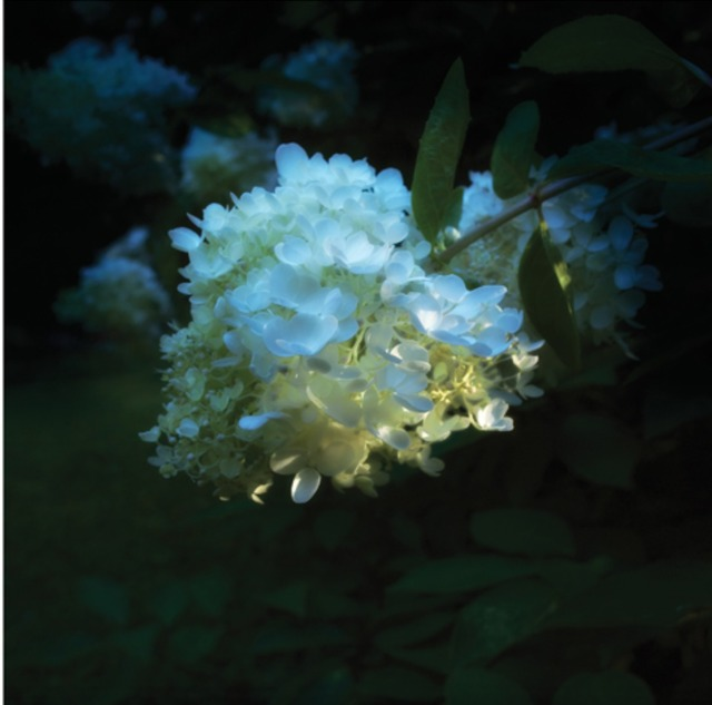 , 'Hydrangea in Shadow,' 2015, Andrea S. Keogh Art and Design