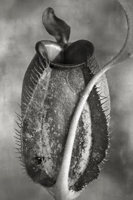 , 'Nepenthes Tomoriana,' , photo-eye Gallery