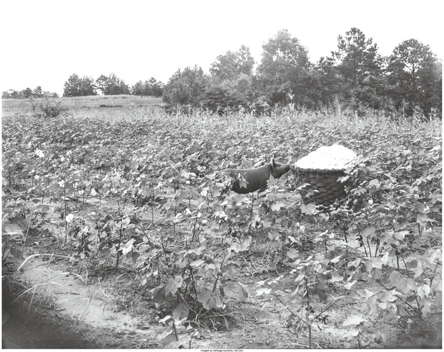 Walker Evans, 'Pig in a cotton field, Alabama', 1936, Heritage Auctions