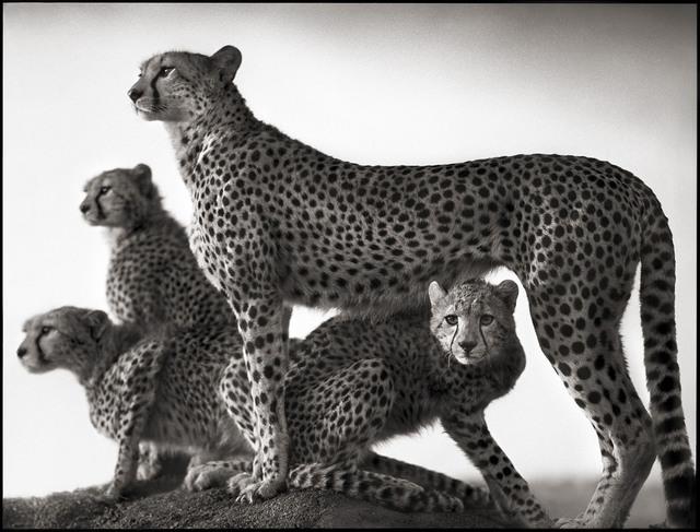 , 'Cheetah & Cubs, Maasai Mara,' 2003, Edwynn Houk Gallery