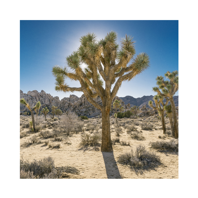 , 'Joshua Tree, Mojave Desert, California, USA,' 2017, ElliottHalls