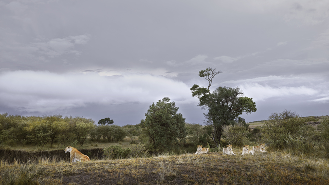 David Burdeny, 'Lioness and Four Cubs River's Edge, Maasai Mara, Kenya', 2019, Galerie de Bellefeuille
