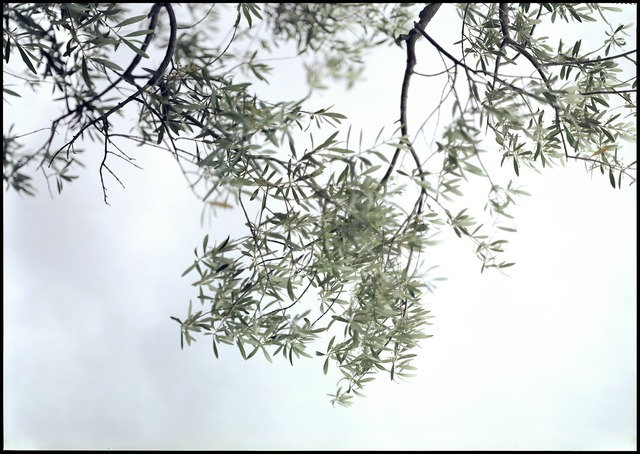 , 'Olive Trees, Looking Up,' 2003, Pace/MacGill Gallery
