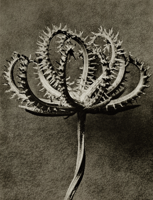 , 'Plate 53 - Koelpinia linearis (Compositae) seed head ,' , photo-eye Gallery