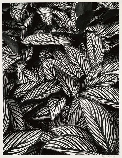 , 'Calathea Vittata, Oahu,' 1977, Peter Fetterman Gallery