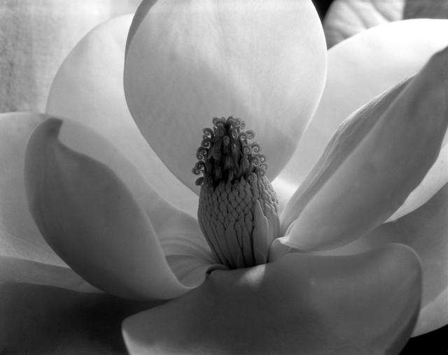 , 'Magnolia Blossom, 1925,' c. 1979-1999, Ryan Gallery