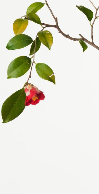 Takashi Tomo-oka, 'Camellia', 2010, Ippodo Gallery