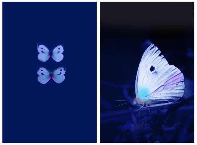 , 'Butterflies in UV, Male/Female - Diptych,' , East Wing