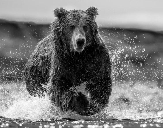 David Yarrow, 'The Happy Bear', Visions West Contemporary