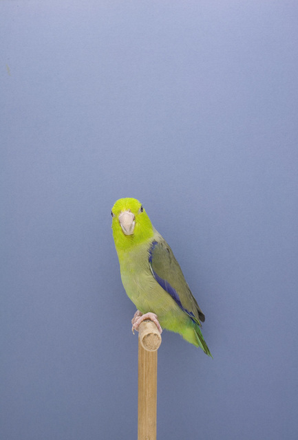 Luke Stephenson, 'Parakeet #2, from 'The Incomplete Dictionary of Show Birds'', 2009, The Photographers' Gallery | Print Sales