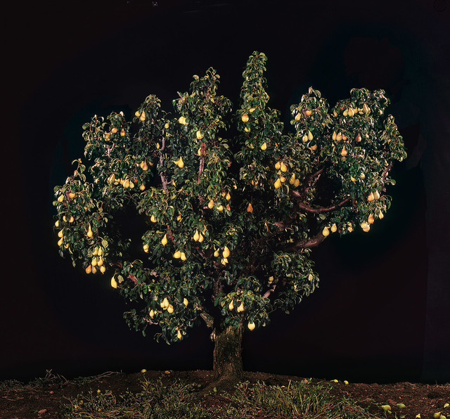 Tal Shochat, 'Pear Tree', 2011, Corridor Contemporary