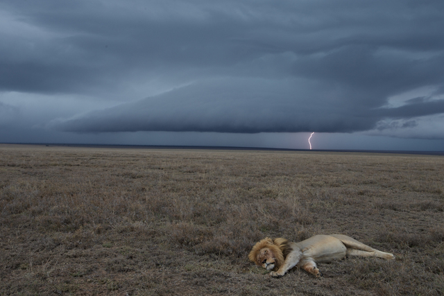 , 'Hildur, a resident coalition male, rests with a full belly from a zebra kill appropriated from the Vumbi pride. At nightfall, he relinquished the carcass, allowing the pride to eat. Serengeti National Park, Tanzania.,' 2012, Anastasia Photo