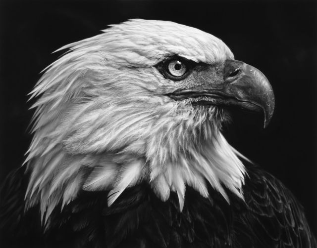 , 'Untitled (American Bald Eagle),' 2017, Brooklyn Museum