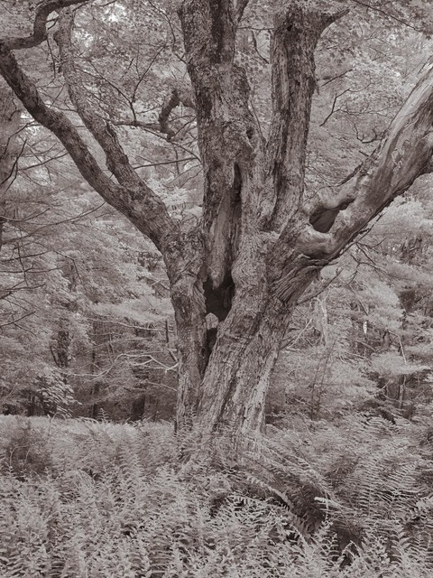 , 'Maple, Steepletop Reserve, New Marlborough, Massachusetts,' , Soho Photo Gallery