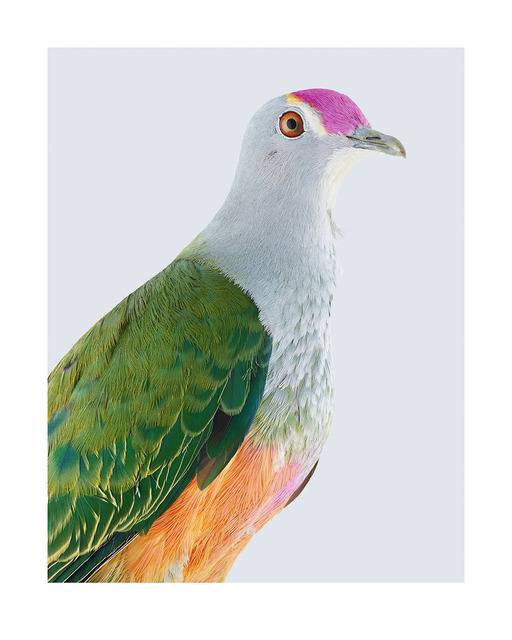 , 'Rose-crowned Fruit-dove,' 2017, Purdy Hicks Gallery
