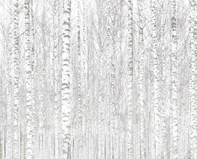 Andreas Gefeller, '010, Birch Forest', 2017, Atlas Gallery