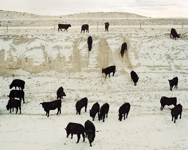 , 'Steers Coming to Feed, Chugwater, Wyoming,' , Pictura Gallery