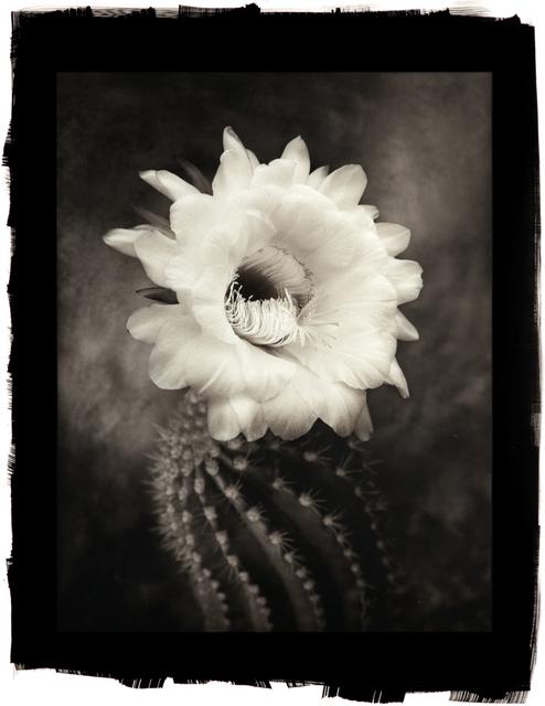 , 'Argentine Giant Cactus,' , Gallery 270