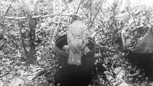 Robert Zhao Renhui, 'An Eagle Returns, Day 322', 2020, Photography, Diasec in Frame, Kristin Hjellegjerde Gallery