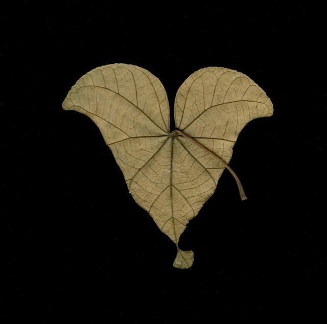 Meridel Rubenstein, 'Singapore Equilateral Leaf', 2010, Brian Gross Fine Art