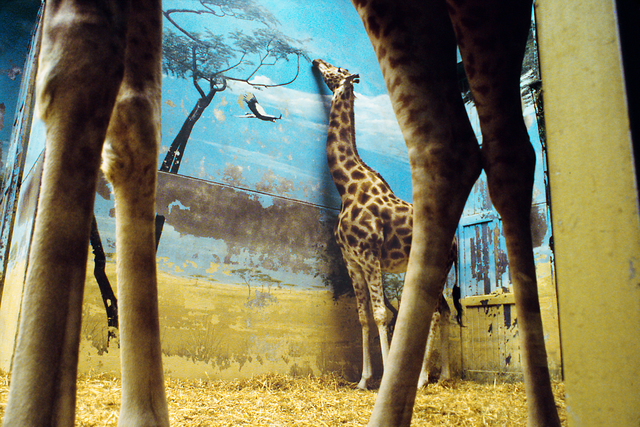 , 'Giraffe, Paris (from the series The Glass Between Us),' 2002, Robert Klein Gallery