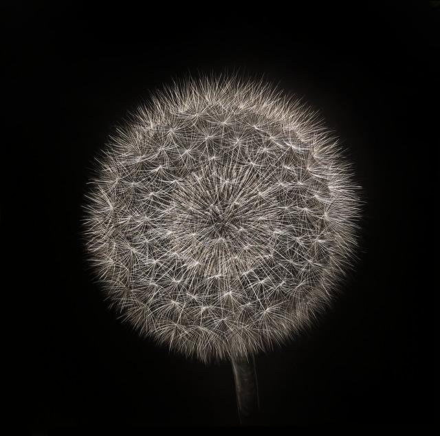 Mitchell Lonas, 'Dandelion, Late Spring', 2019, Blue Spiral 1