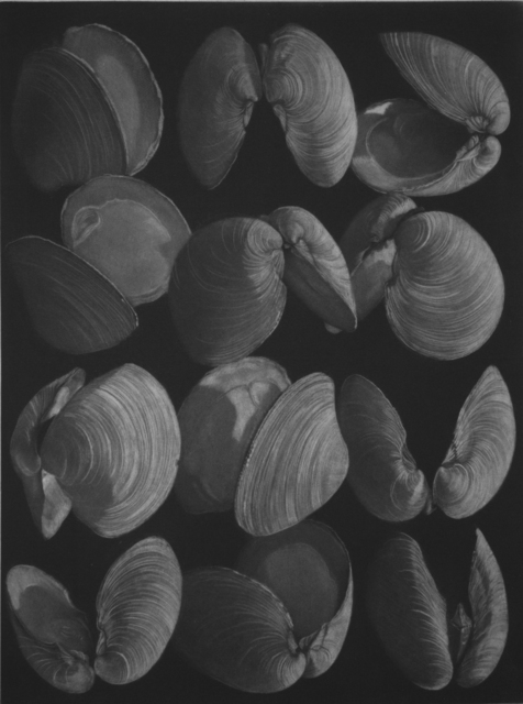 , 'Clams,' 2016, Emanuel von Baeyer
