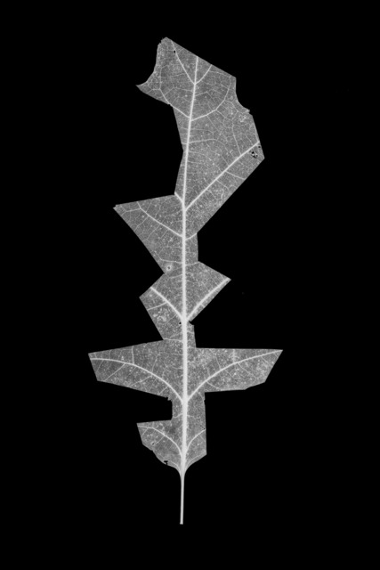 , 'Leaf-cut 09,' 2016, Grundemark Nilsson Gallery