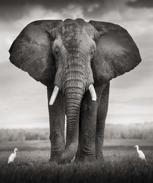 , 'Elephant bull with two birds,' Kenya 2017, Immagis Fine Art Photography
