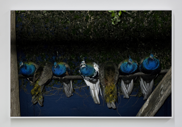 , 'Peacocks,' 2017, Night Gallery