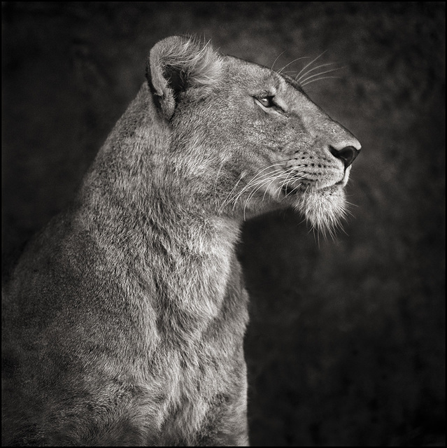 , 'Portrait of Lioness against Rock,' 2007, Atlas Gallery